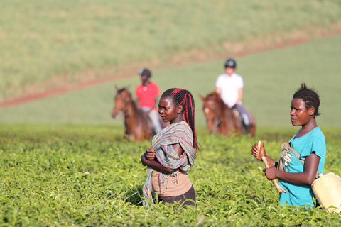 Ugandans in a local tea plantation
